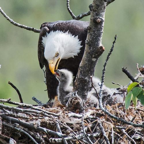 Eagle Rescue Alaska