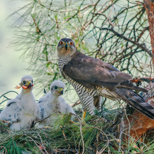 Hawk Rescue Alaska