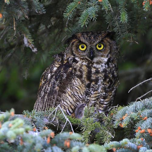 Owl Rescue Alaska