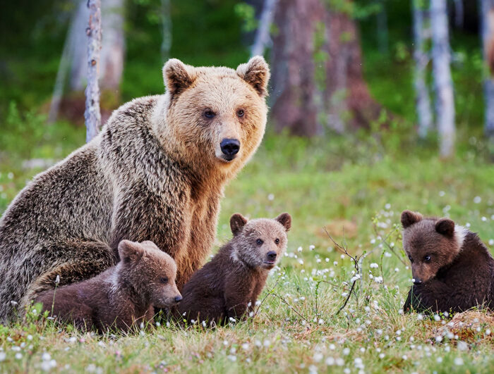 Alaska Bear Rescue