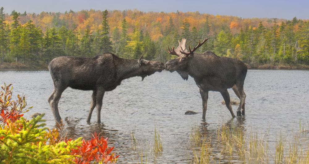 Alaska Moose Rescue
