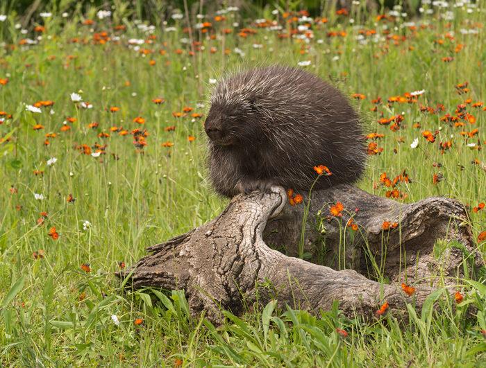 Alaska Porcupine Rescue