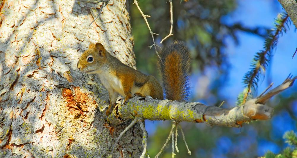 Alaska Squirrel Rescue