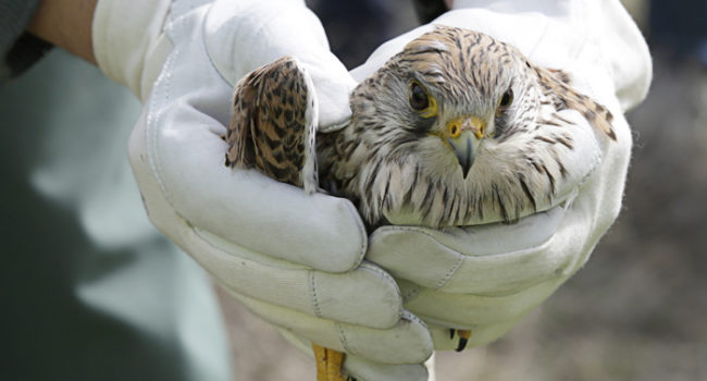 Alaska Wildlife Rescue Foster Care Volunteer