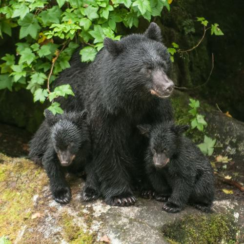 Bear Rescue Alaska
