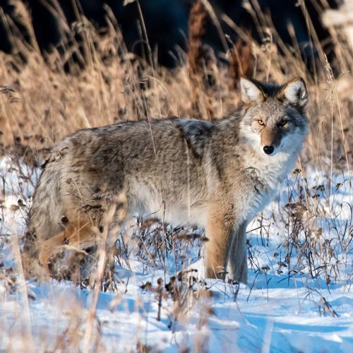 Coyote Rescue Alaska