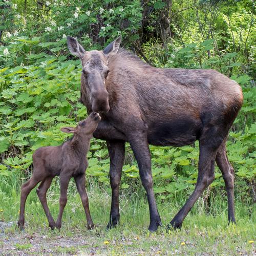 Moose Rescue Alaska