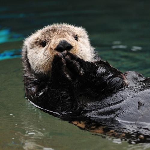 Otter Rescue Alaska