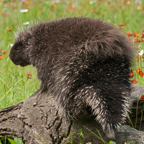 Porcupine Rescue Alaska