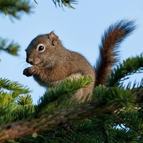 Squirrel Rescue Alaska