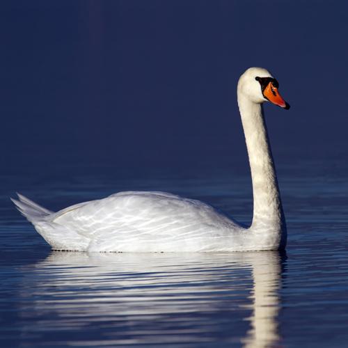 Swan Rescue Alaska