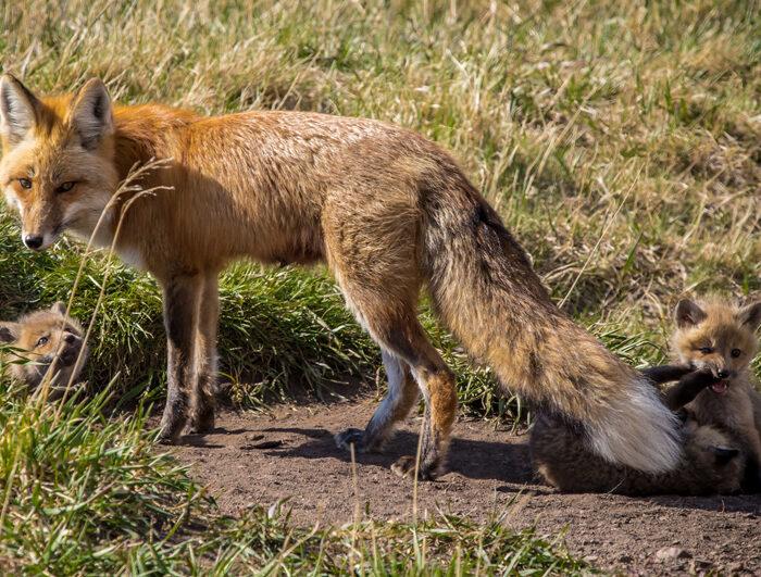Wild Canine Rescue Alaska