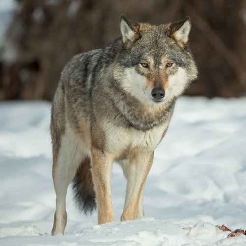 Wolf Rescue Alaska